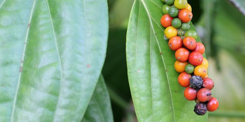 Syngenta, Boards of Appeal, pepper plant